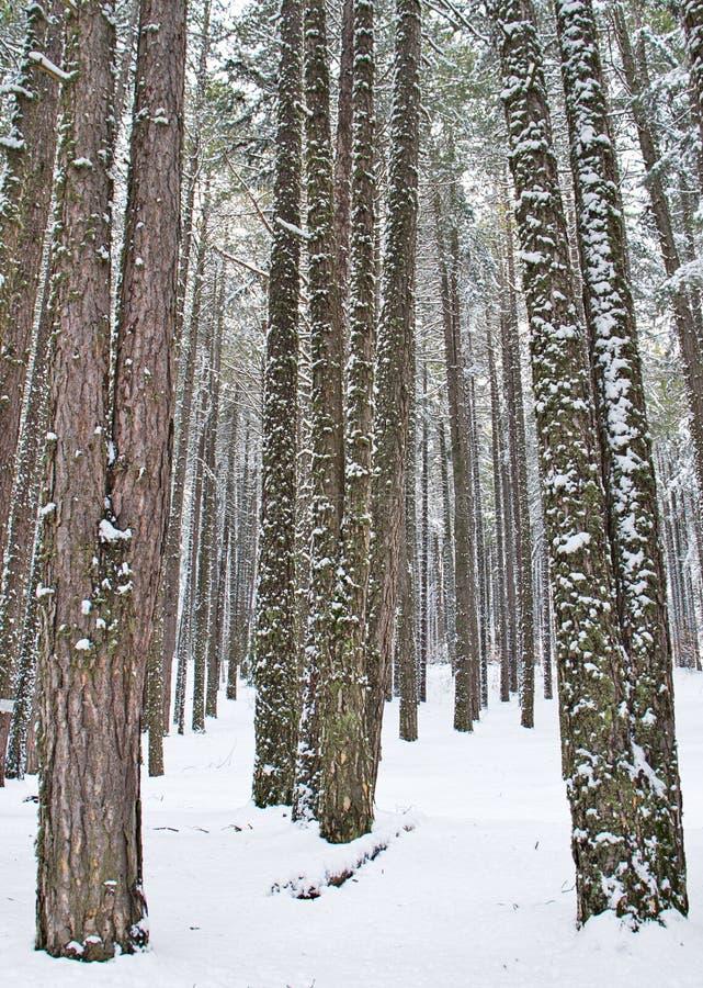 Χιονώδες δάσος οξιών και πεύκων στα τέλη του χειμώνα, εθνικό πάρκο Sila, Καλαβρία, νότια Ιταλία στοκ φωτογραφίες