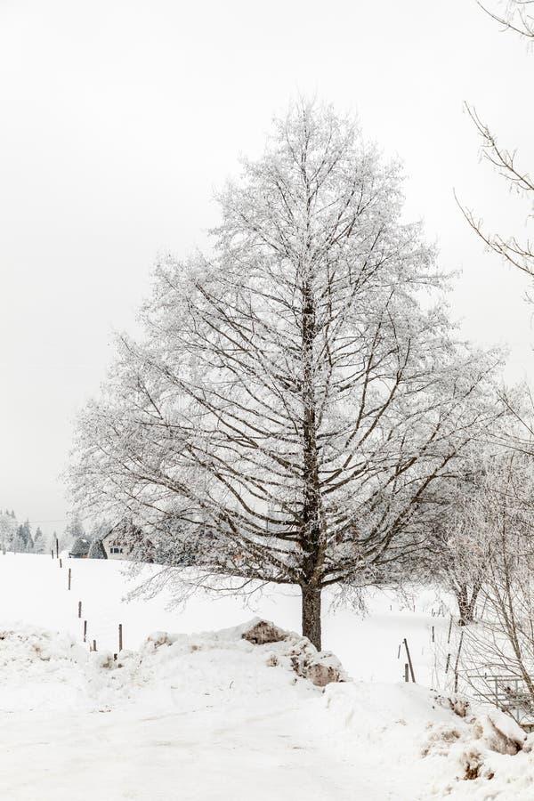 Χιονώδες δέντρο το χειμώνα σε Schluchsee στοκ φωτογραφία με δικαίωμα ελεύθερης χρήσης