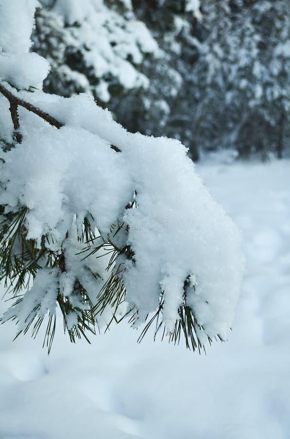 Χιονώδης κινηματογράφηση σε πρώτο πλάνο κλάδων πεύκων στο χειμερινό δάσος στοκ εικόνα