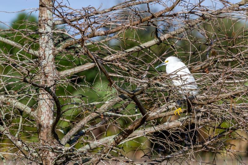 Χιονώδης τσικνιάς Roosting στο δέντρο μαγγροβίων στοκ εικόνα
