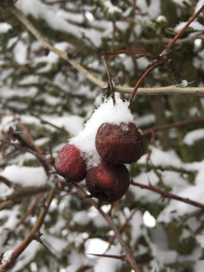 Χιονώδη μούρα στοκ εικόνες