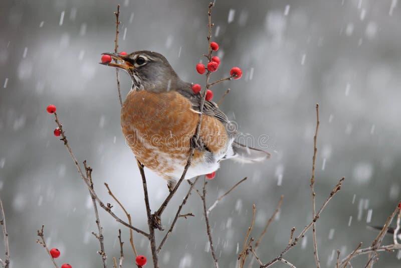 Χιονώδης ημέρα Robin στοκ φωτογραφίες
