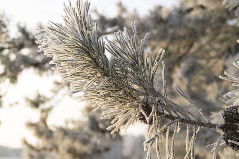 Χιονώδης κλάδος πεύκων στις ακτίνες του ήλιου αύξησης διανυσματική απεικόνιση