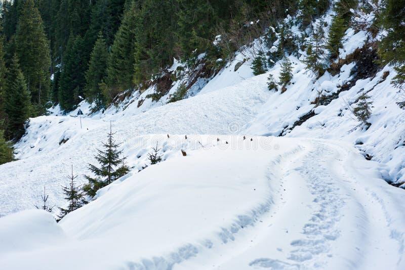 Χιονώδης δρόμος μέσω του δάσους έλατου στοκ εικόνες