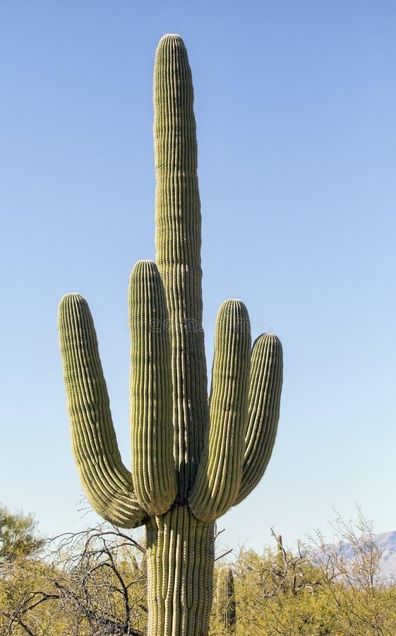Χιουμοριστική μέση χειρονομία δάχτυλων κάκτων Saguaro στοκ φωτογραφίες με δικαίωμα ελεύθερης χρήσης