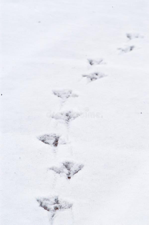 χιόνι ίχνους s πουλιών στοκ εικόνες