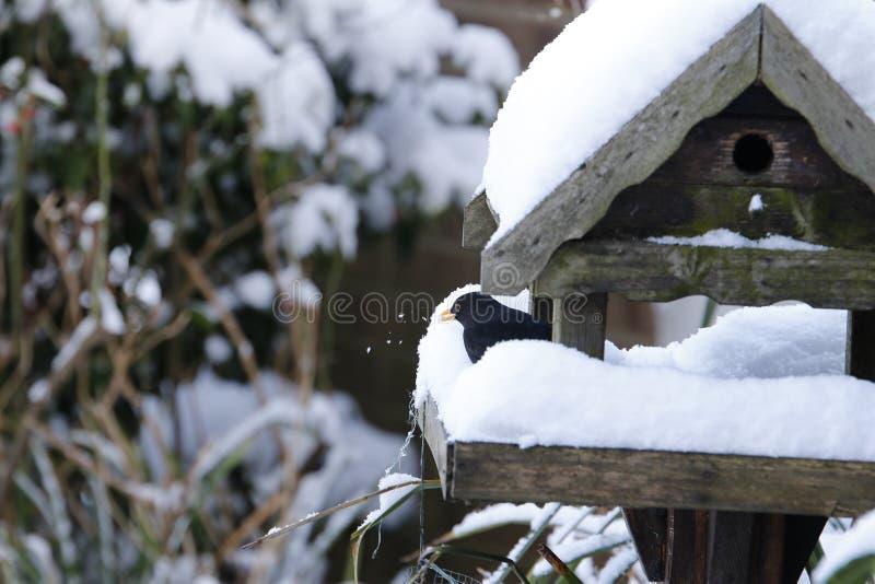 Χιόνι κοτσύφων που καθαρίζει το μικρό μαξιλάρι του στοκ φωτογραφίες