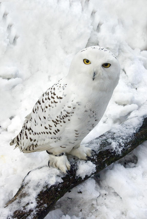 χιόνι κουκουβαγιών χιονώ στοκ φωτογραφίες