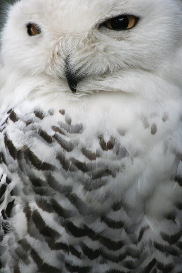 χιόνι κουκουβαγιών στοκ φωτογραφία