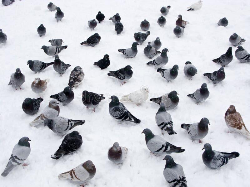 χιόνι περιστεριών στοκ εικόνες με δικαίωμα ελεύθερης χρήσης