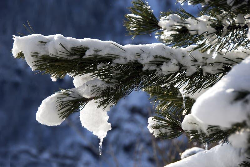 χιόνι πεύκων βελόνων στοκ εικόνα