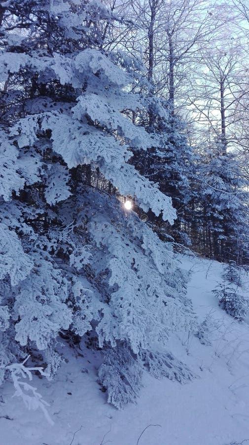 χιόνι πεύκων στοκ εικόνα