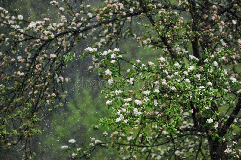 Χιόνι που αφορά το ανθίζοντας δέντρο Μάιος στην κεντρική Ευρώπη στοκ εικόνες με δικαίωμα ελεύθερης χρήσης