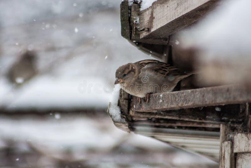 Χιόνι πουλιών στοκ φωτογραφία
