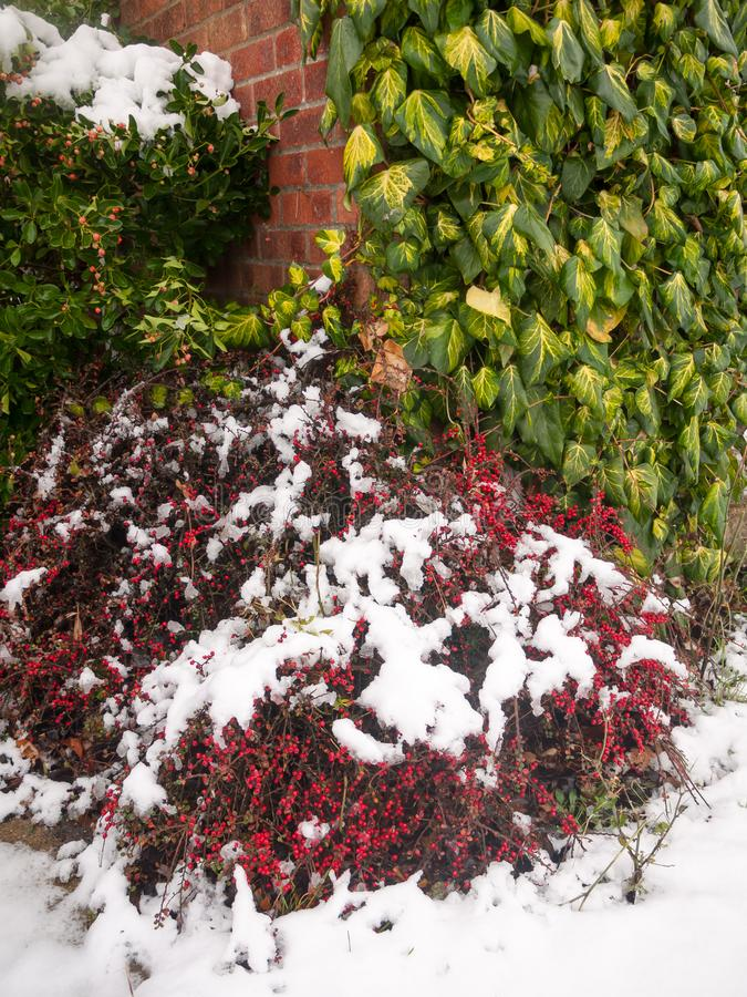 χιόνι στον κόκκινο θάμνο μούρων έξω στο χειμώνα πατωμάτων στοκ εικόνα