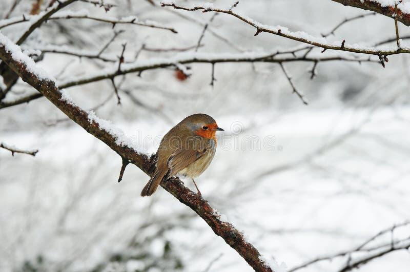 χιόνι του Robin στοκ εικόνες