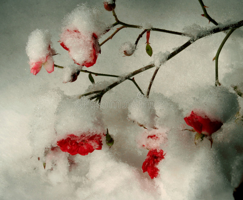 Download χιόνι τριαντάφυλλων στοκ εικόνες. εικόνα από βαλεντίνος - 1545106
