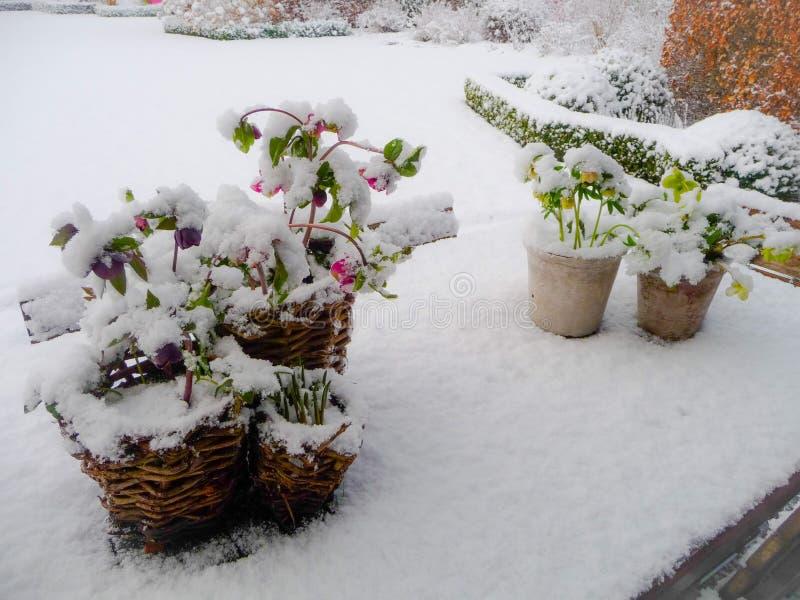 Χιόνι ladnscape ενός κήπου με έναν πίνακα με το άνθισμα hellebore στοκ φωτογραφία με δικαίωμα ελεύθερης χρήσης