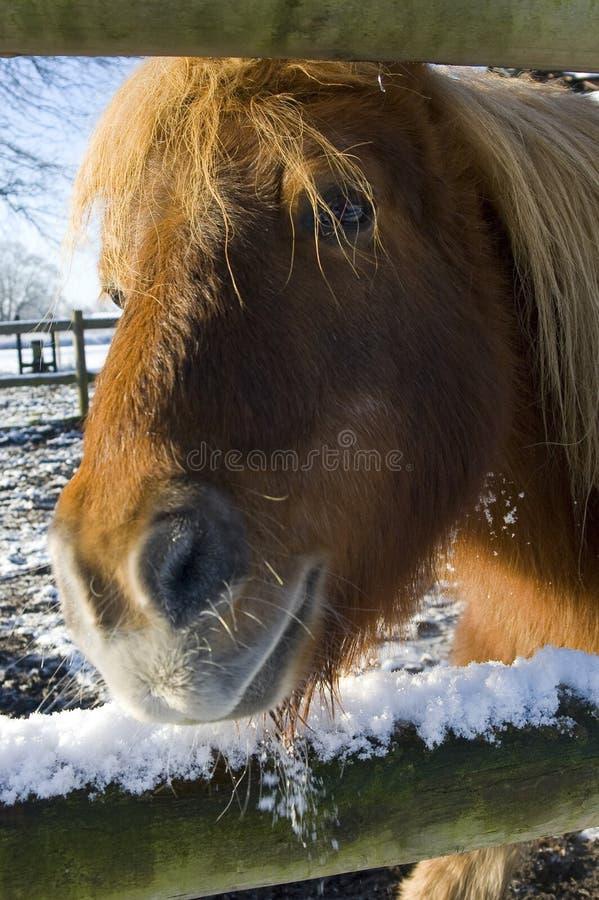 χιόνι Shetland πόνι στοκ εικόνα