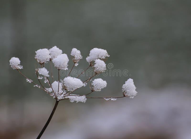 Χιόνι Umbel στοκ φωτογραφία