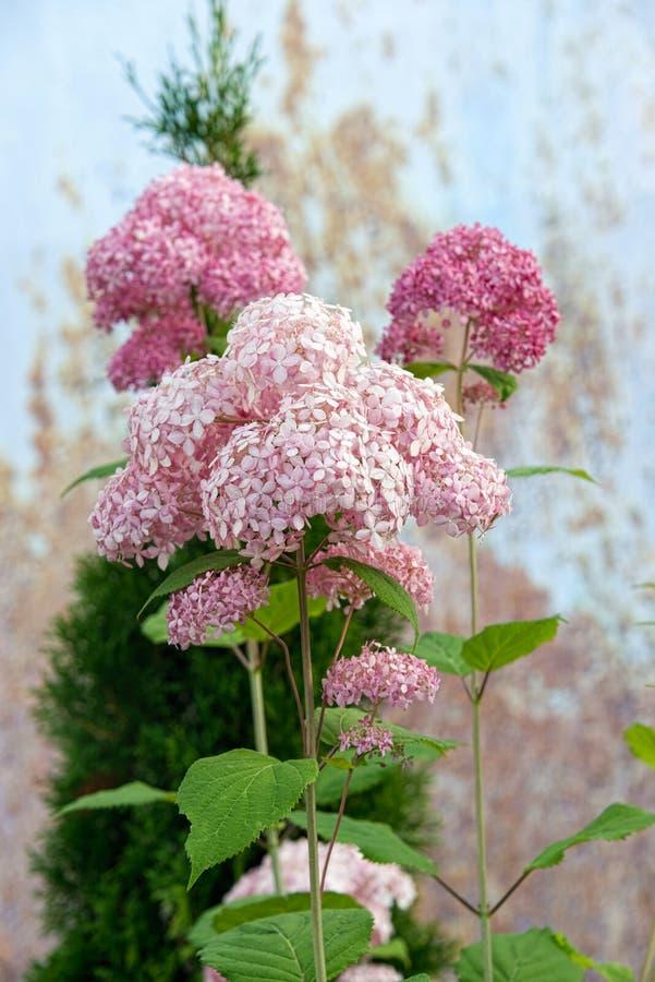 Χλωμιάστε - ρόδινο hydrangea στον κήπο στοκ εικόνα με δικαίωμα ελεύθερης χρήσης