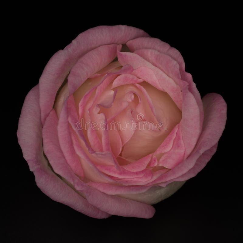Χλωμός - ρόδινος αυξήθηκε λουλούδι που απομονώθηκε στο μαύρο υπόβαθρο στοκ εικόνες με δικαίωμα ελεύθερης χρήσης