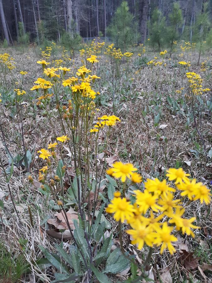 Χλωρίδα στο ανατολικό Τέξας Wildflowers 001 στοκ εικόνες