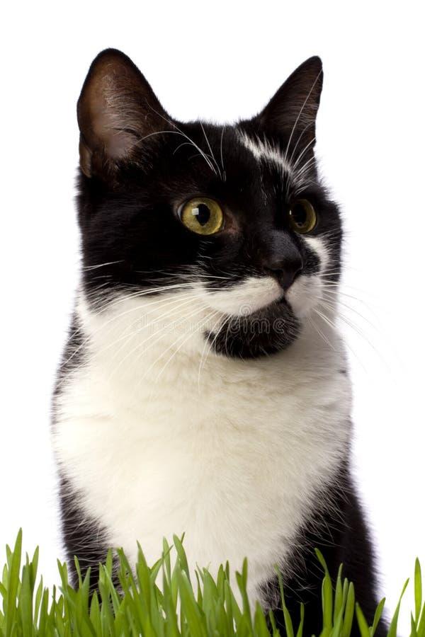 Download χλόη γατών στοκ εικόνα. εικόνα από περιβαλλοντικός, χορτοτάπητας - 13180213