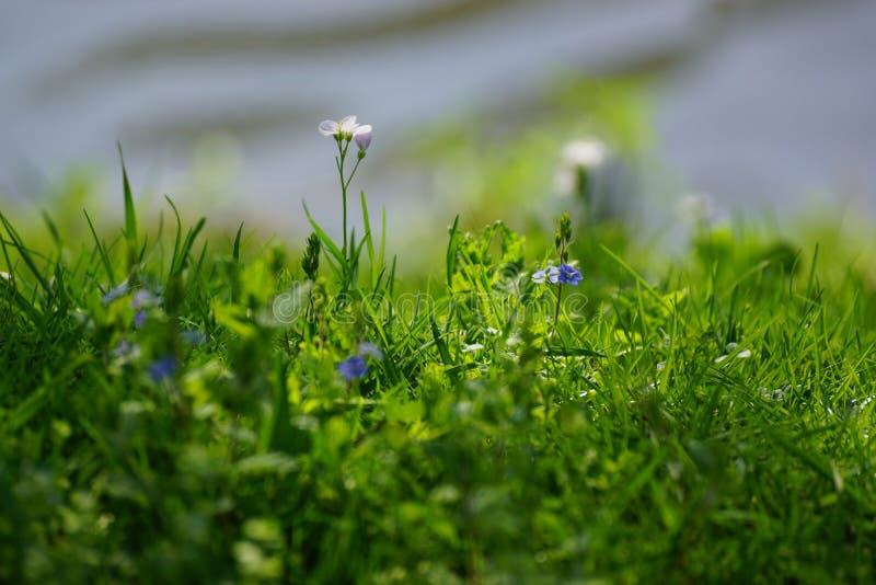 Χλόη και μπλε λουλούδια - μπροστινή άποψη στοκ εικόνες