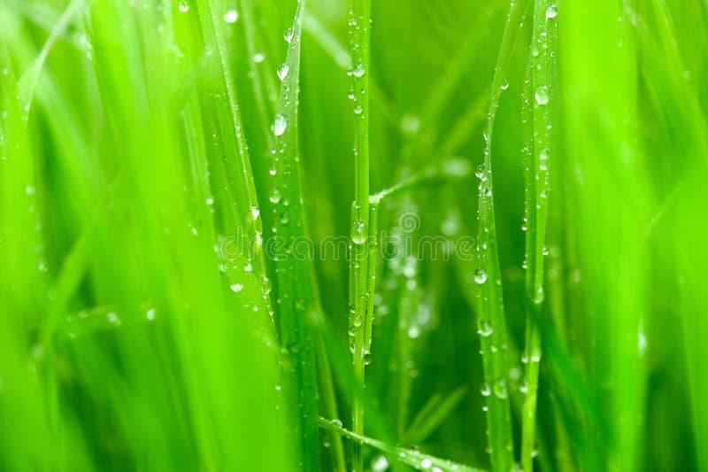 χλόη λεπίδων πράσινη στοκ εικόνες με δικαίωμα ελεύθερης χρήσης