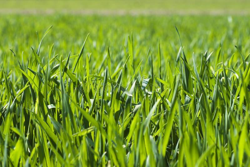 χλόη λεπίδων πράσινη στοκ εικόνα