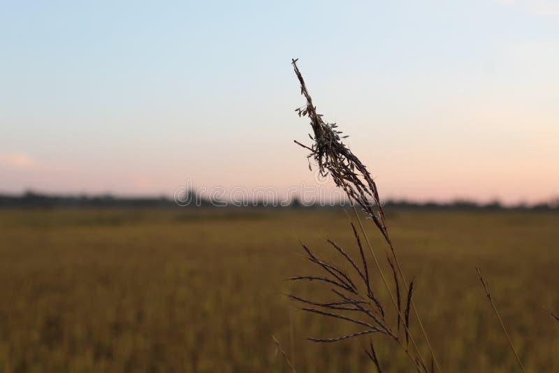 Χλόη με το μεγάλο τομέα σιταριού ρυζιού στο υπόβαθρο στοκ εικόνα