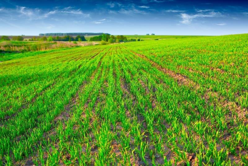 χλόη πεδίων πράσινη στοκ φωτογραφία