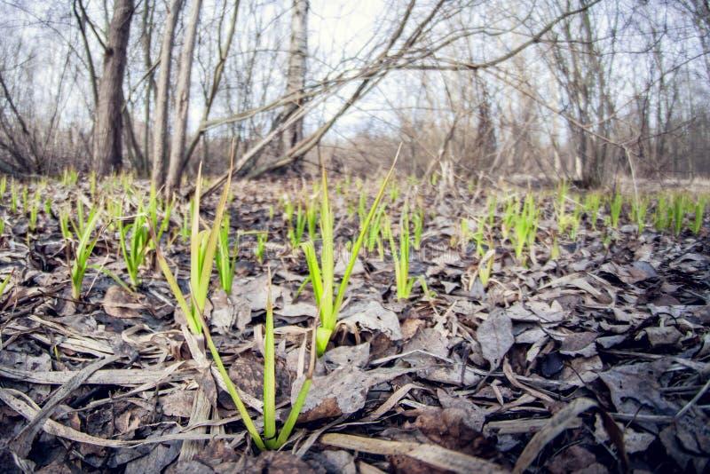 Χλόη που κάνει την έξοδο ξηρού φυλλώματός τους την άνοιξη αρχή της εποχής αύξησης εγκαταστάσεων προοπτική διαστρεβλώσεων fisheye στοκ εικόνα