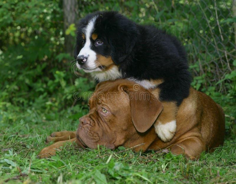 χλόη puppys στοκ φωτογραφίες