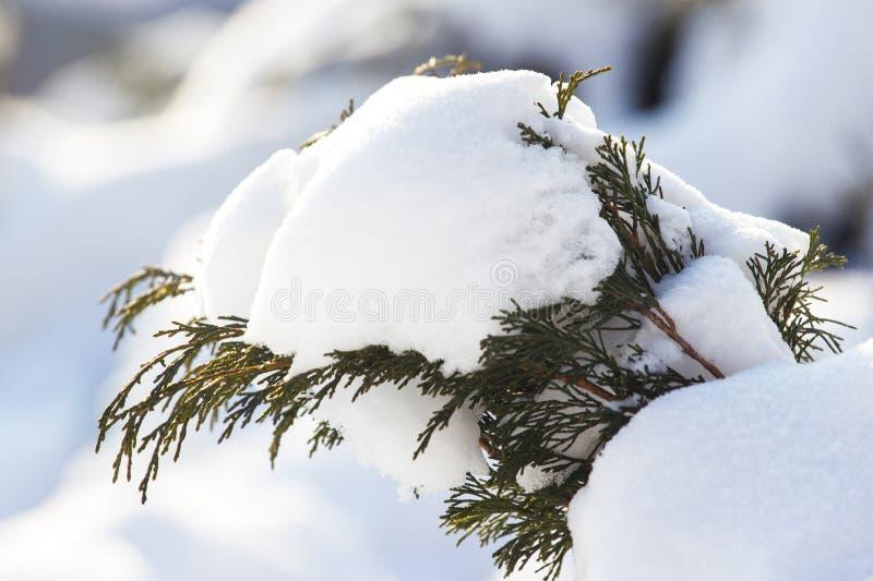 Χνουδωτά χριστουγεννιάτικα δέντρα κάτω από το χιόνι Πολύ στενός σε έναν κλάδο ενός δέντρου κωνοφόρων κάτω από το χιόνι Υπάρχει βα στοκ φωτογραφία με δικαίωμα ελεύθερης χρήσης