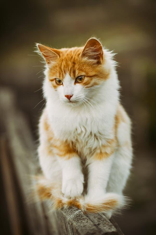 Χνουδωτή άσπρη εσωτερική γάτα με τα κόκκινα σημεία που στηρίζονται στο φράκτη στοκ εικόνες