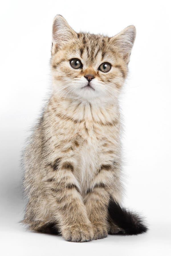 Χνουδωτή βρετανική γάτα γατακιών πιπεροριζών τιγρέ στοκ φωτογραφία με δικαίωμα ελεύθερης χρήσης
