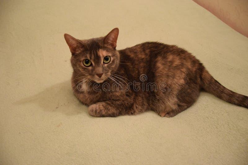 Χνουδωτή γάτα στο κρεβάτι στοκ εικόνα με δικαίωμα ελεύθερης χρήσης