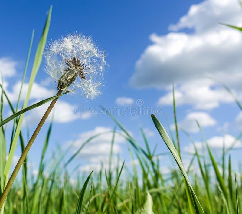 Χνουδωτή πικραλίδα σε έναν πράσινο τομέα ενάντια σε έναν μπλε ουρανό r στοκ φωτογραφία