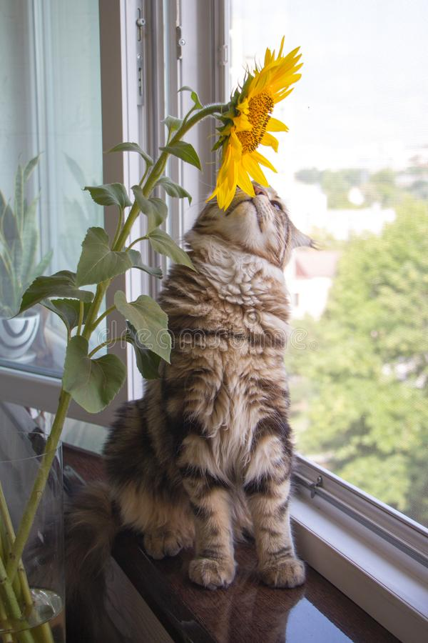 Χνουδωτή συνεδρίαση του Μαίην Coon γατακιών κινηματογραφήσεων σε πρώτο πλάνο στο windowsill δίπλα σε ένα βάζο των ηλίανθων στον π στοκ εικόνες με δικαίωμα ελεύθερης χρήσης
