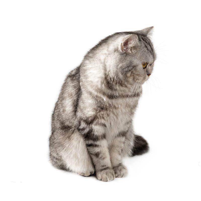 Χνουδωτή όμορφη γραπτή ριγωτή γάτα, σκωτσέζικα Κάθισμα σε ένα άσπρο υπόβαθρο στοκ φωτογραφία με δικαίωμα ελεύθερης χρήσης