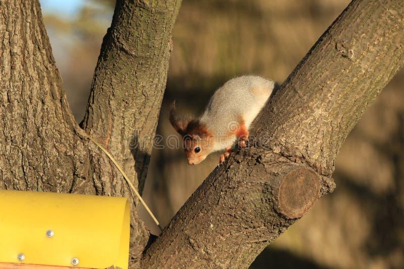 χνουδωτός κόκκινος σκίουρος σε ένα δέντρο στοκ φωτογραφίες με δικαίωμα ελεύθερης χρήσης