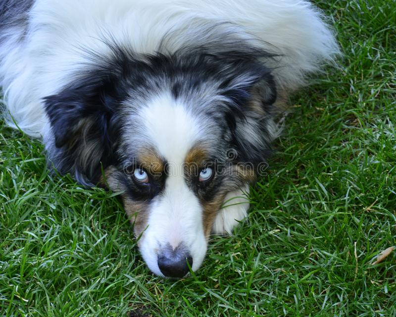 Χνουδωτό γούνινο άσπρο, μαύρο και καφετί σκυλί με τα μπλε μάτια που βάζουν στη χλόη στοκ φωτογραφίες