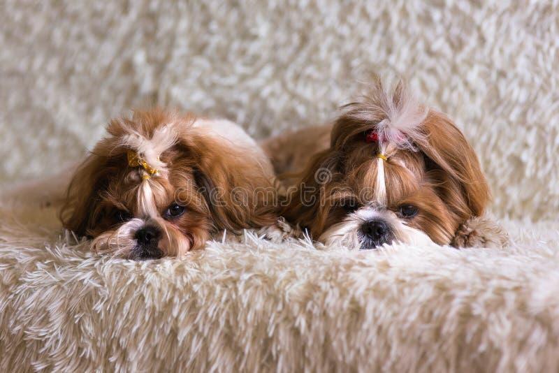 Χνουδωτό σκυλί tzu shih δύο στον καναπέ στο χνουδωτό κάλυμμα στοκ εικόνα με δικαίωμα ελεύθερης χρήσης