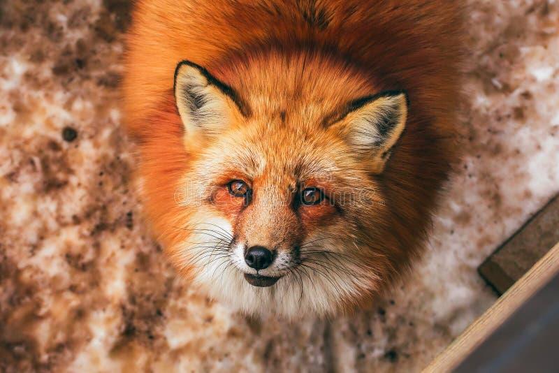 Χνουδωτό χαριτωμένο κόκκινο πορτρέτο αλεπούδων το χειμώνα, zao, miyagi, περιοχή Tohoku, Ιαπωνία στοκ εικόνα