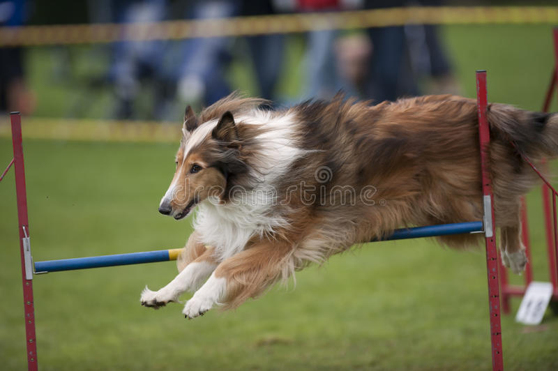 Χνουδωτή πηδώντας ευκινησία σκυλιών στοκ εικόνες