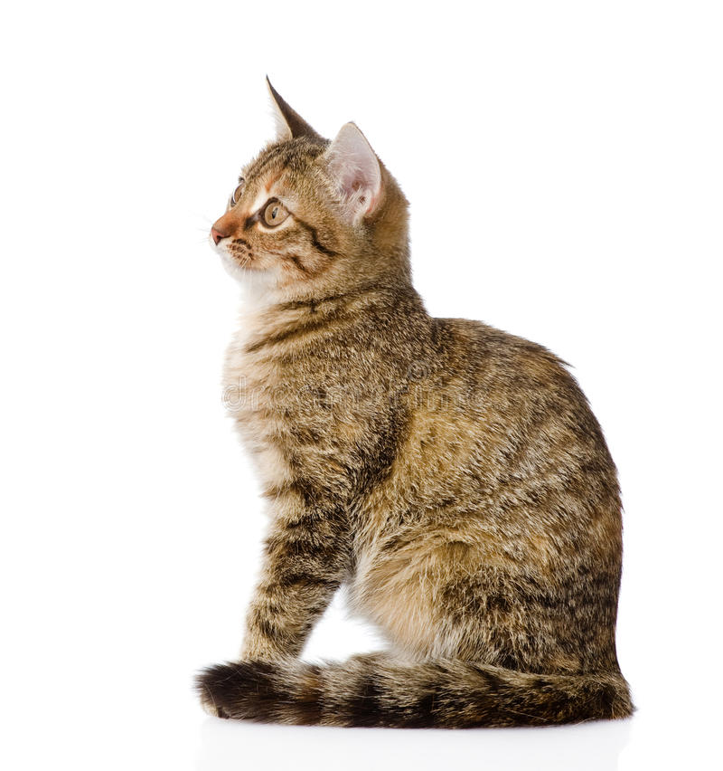 Χνουδωτό γκρίζο όμορφο γατάκι στο σχεδιάγραμμα Απομονωμένος στο λευκό στοκ φωτογραφίες με δικαίωμα ελεύθερης χρήσης