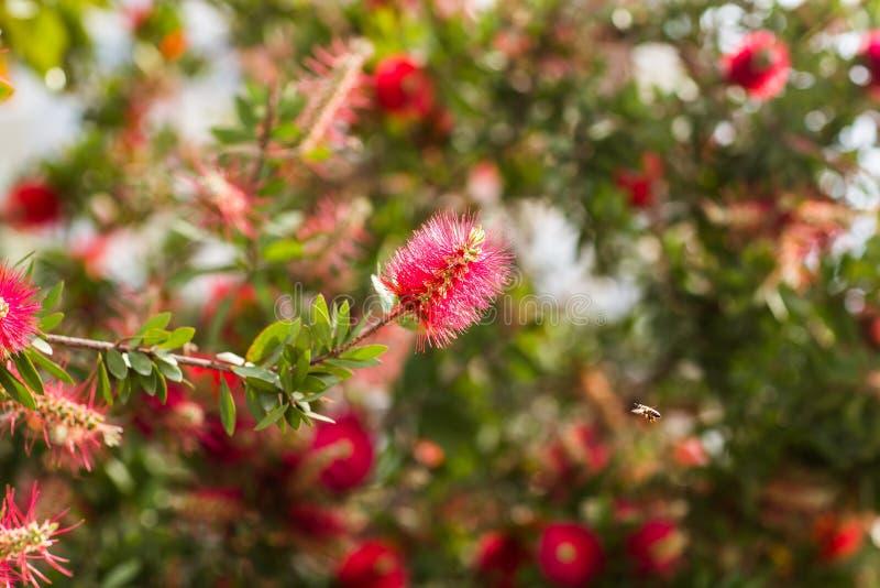 Χνουδωτό κόκκινο λουλούδι και μια μέλισσα στοκ φωτογραφία με δικαίωμα ελεύθερης χρήσης