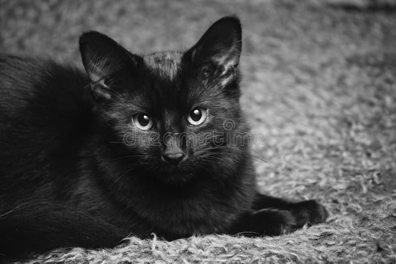 Χνουδωτό μαύρο γατάκι γατών στοκ εικόνα με δικαίωμα ελεύθερης χρήσης